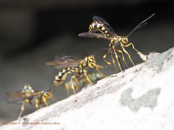 オナガバチ ♀