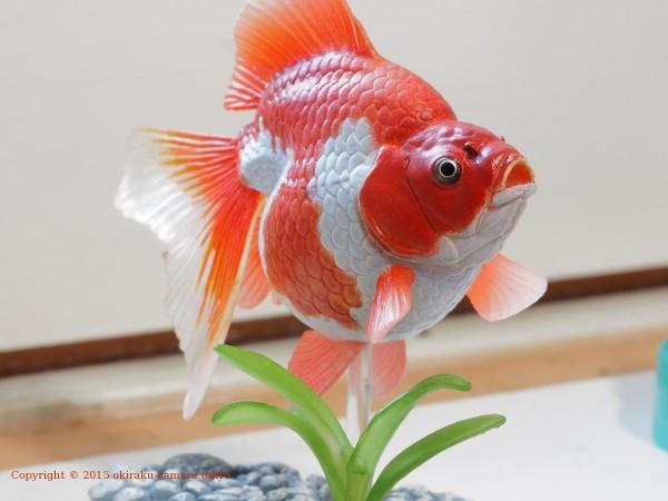 金魚_f16