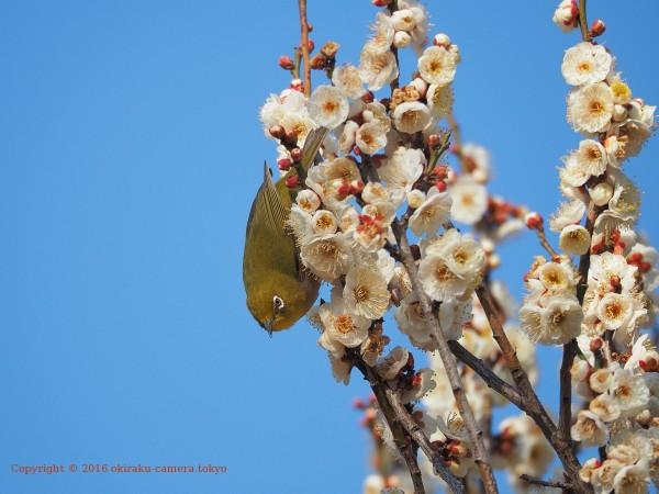 梅にメジロ2