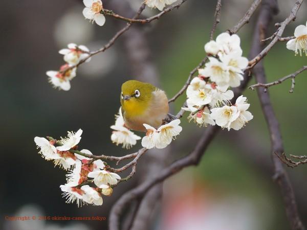 梅にメジロ2-2