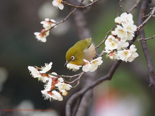 梅にメジロ2-4