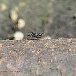 シマサシガメの幼虫