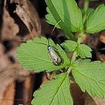 ミドリヒゲナガ ♀