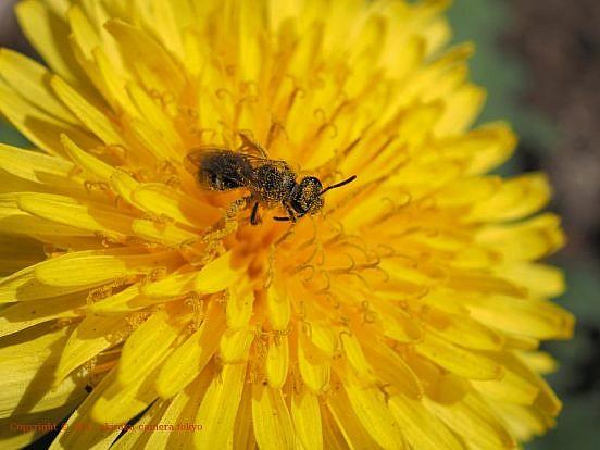 タンポポに蜂