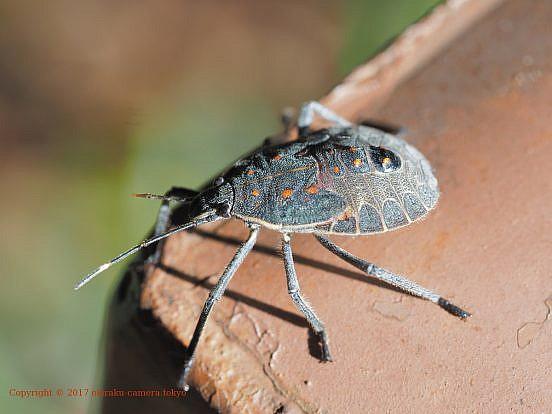 キマダラカメムシ(幼虫)