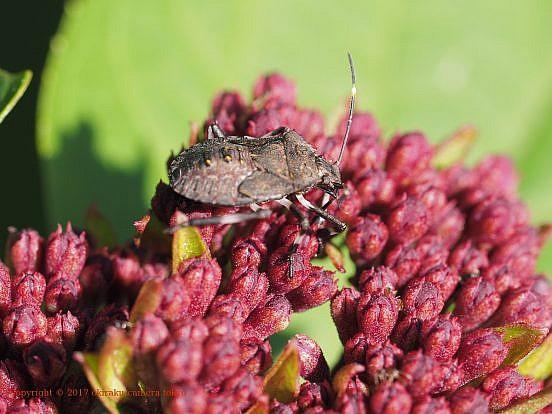 クサギカメムシ(幼虫)