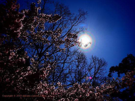 カワヅザクラに花粉光環