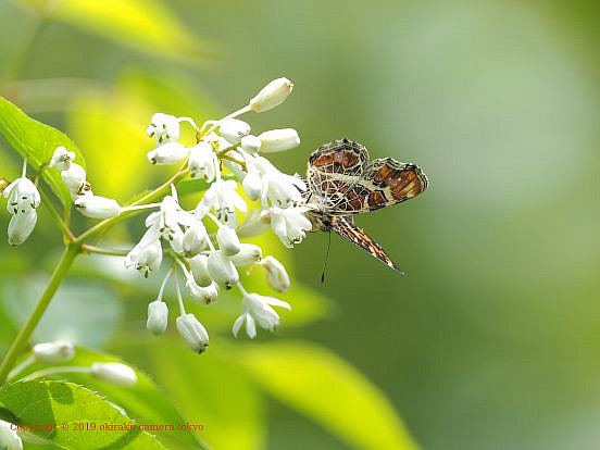 サカハチチョウ