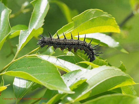 ヒオドシチョウの幼虫