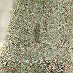 キアシドクガの卵