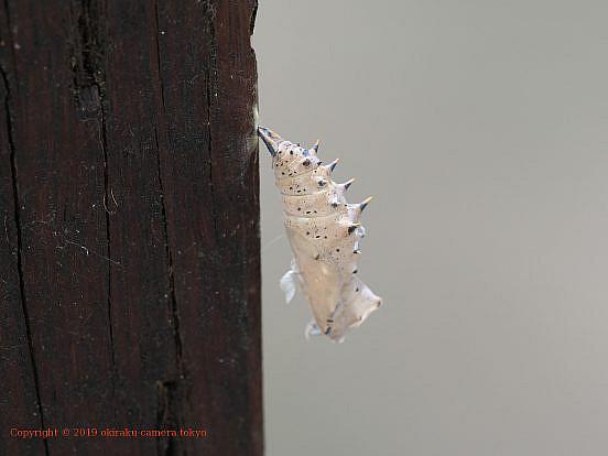 ヒオドシチョウの蛹の抜け殻